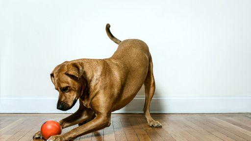 Tecnologia pode mudar a forma como nos comunicamos com os cães