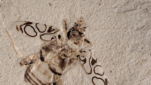 Fóssil de besouro pré-histórico é encontrado em incríveis condições; veja!