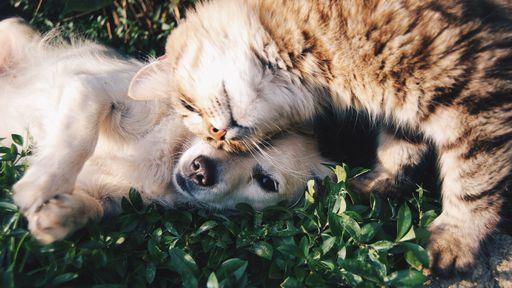 Quem é mais inteligente, o gato ou o cachorro?