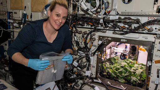 Rabanetes cultivados na ISS foram colhidos e consumidos pela primeira vez