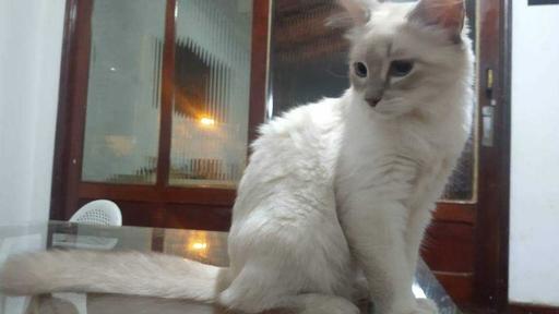 Primeiro caso de gato com COVID-19 no Brasil é confirmado
