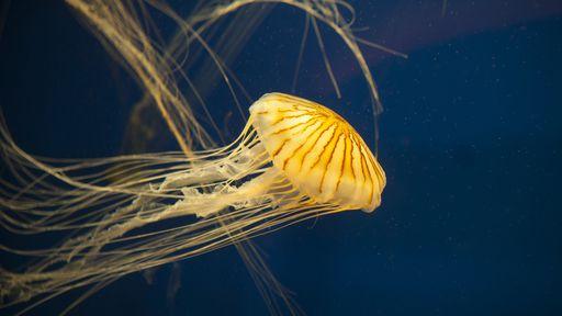 """Fotógrafo flagra água-viva com sua última refeição intacta na """"barriga""""; veja!"""