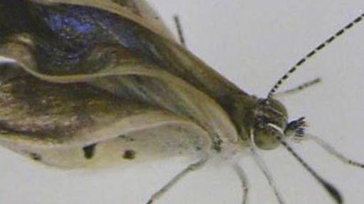 Cientistas encontram borboletas com sinais de mutação na região de Fukushima