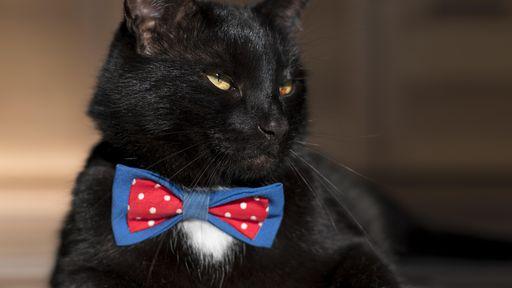 Gatos caem na pegadinha da ilusão de ótica assim como humanos, revela estudo