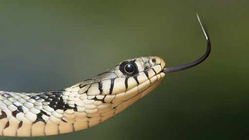 Veneno de cobra do Brasil pode inibir em 75% a multiplicação do coronavírus