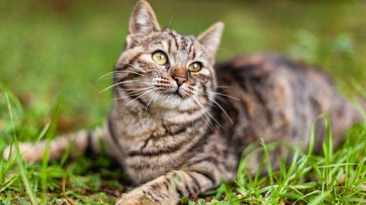 Por que tantos gatos são listrados?