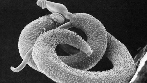 Cientistas descongelam e ressuscitam vermes de mais de 42 mil anos atrás