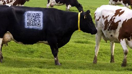 Fazendeiro pinta QR Code em vaca para aproximar público da sua produção