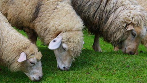 Ovelhas tecnológicas alertam seus donos de possível ataque de lobos via SMS