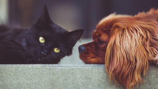 Cães e gatos também podem contrair a COVID-19; entenda os riscos