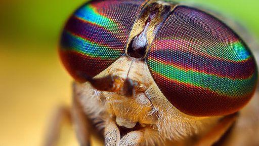Nova espécie de inseto é identificada com a ajuda do Flickr