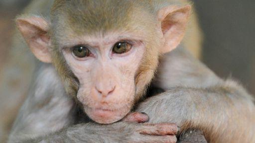 Vacina experimental contra vírus da zika apresenta sucesso em macacos