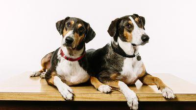 Na Coreia do Sul, você pode clonar o seu cachorro falecido por US$ 100 mil