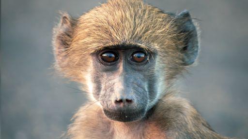 Cocô de babuíno mostra como o estresse pode encurtar a vida; entenda!