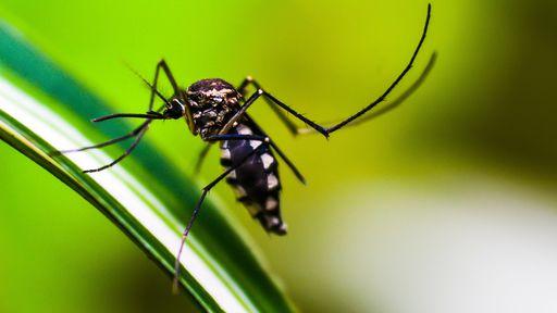 Cientistas alteram visão do mosquito da dengue, impedindo que ele pique humanos