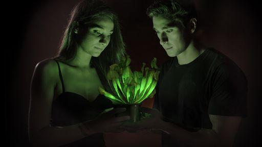 Plantas que brilham no escuro podem substituir lâmpadas no futuro
