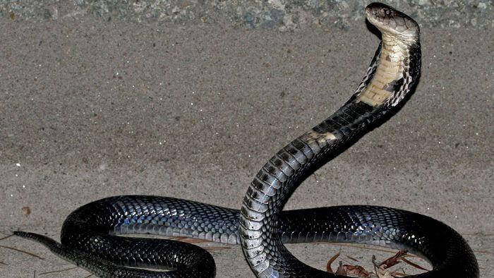 Boletim atualizado: coronavírus viria da cobra, não do morcego, dizem cientistas