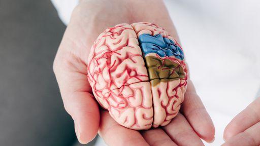 Cientistas criaram estes minicérebros, que agora desenvolveram estes mini-olhos