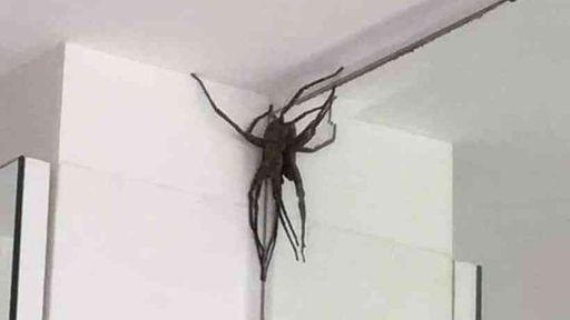 """Aranha gigante """"invade"""" casas e amedronta moradores de bairro de Belo Horizonte"""