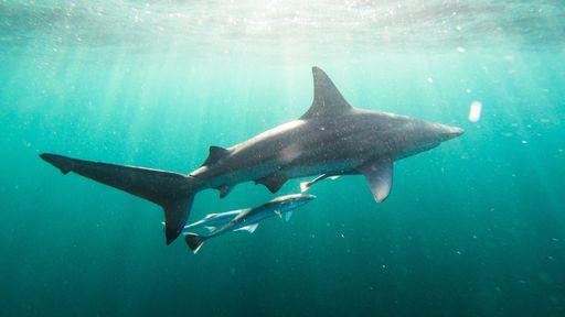 Tubarão fêmea engravida sozinha e dá à luz em tanque sem machos