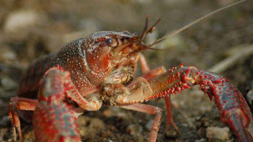 Antidepressivos descartados na água alteram o comportamento de animais aquáticos