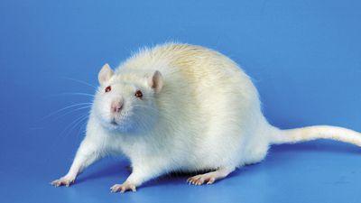 "Cientista brasileiro usa laser para transformar ratos em ""zumbis assassinos"""