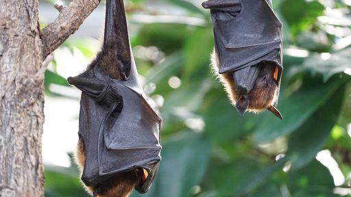 Cientistas flagram coronavírus destruindo células cerebrais de morcego; assista!