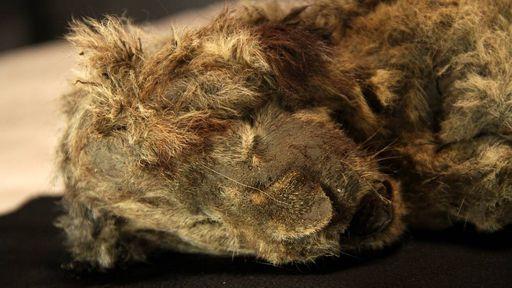 Filhote de leão é encontrado intacto depois de 28 mil anos congelado na Sibéria